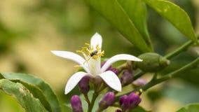 Bi på citronblomman Royaltyfri Foto