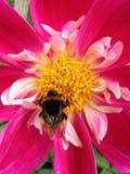 Bi på Dahlia Flower Royaltyfria Foton