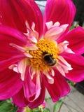 Bi på Dahlia Flower Royaltyfria Bilder