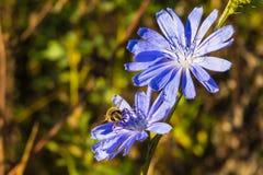 Bi på den blåa cikoriablomman fotografering för bildbyråer