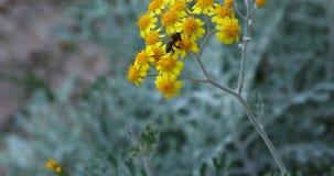 Bi på den gula blomman arkivfilmer