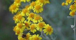 Bi på den gula blomman stock video