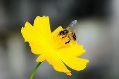 Bi på den gula blomman Royaltyfri Bild