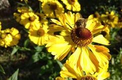 Bi på den gula blomman Arkivbild