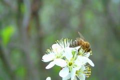 Bi på den körsbärsröda blomman Royaltyfri Fotografi