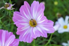 Bi på den purpurfärgade blomman arkivbilder