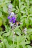 Bi på den purpurfärgade blomman Arkivfoton