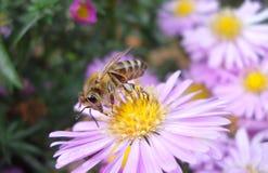 Bi på den rosa blomman fotografering för bildbyråer