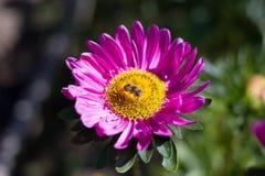 Bi på den rosa blomman Arkivfoto