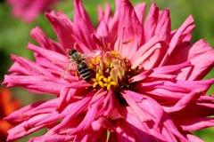 Bi på den rosa blomman Royaltyfri Fotografi