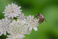 Bi på den stora Masterwort blomman Arkivbild