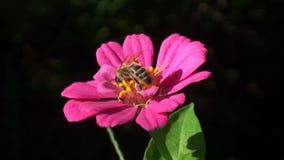 Bi på den underbara blomman i sommar Full HD arkivfilmer