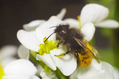 Bi på den vita blomman Arkivbilder