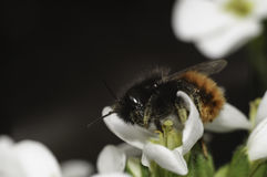 Bi på den vita blomman Arkivfoto