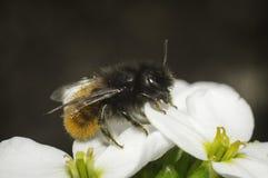 Bi på den vita blomman Arkivfoton