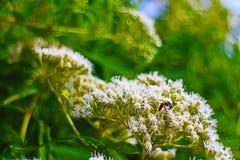 Bi på den vita gruppen av blommor arkivbilder