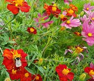 Bi på en blomma royaltyfria foton