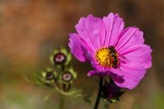 Bi på en blomma royaltyfria bilder