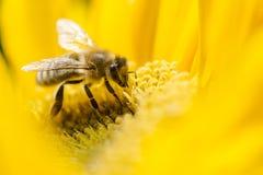 Bi på en blomma Fotografering för Bildbyråer