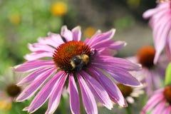 Bi på en blomma Royaltyfri Bild