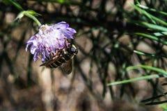 Bi på en blomma Royaltyfri Foto