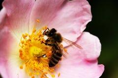Bi på en blomma av en rosa blomma Fotografering för Bildbyråer