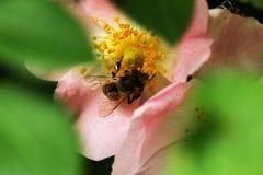 Bi på en blomma av en rosa blomma Royaltyfri Bild