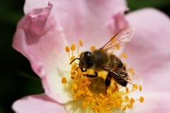 Bi på en blomma av en rosa blomma Royaltyfri Fotografi