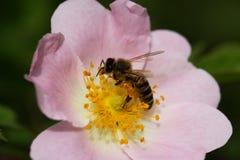 Bi på en blomma av en rosa blomma Royaltyfria Foton