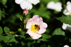 Bi på en blomma av en rosa blomma Arkivfoton