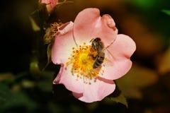 Bi på en blomma av en rosa blomma Royaltyfri Foto