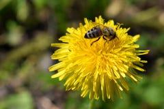 Bi på en blomma av maskrosen Arkivfoto