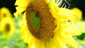 Bi på en blomma av en solros stock video