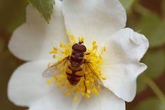 Bi på en blomma Bi på en blomma av en vit blomma Royaltyfri Bild