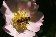 Bi på en blomma Bi på en blomma av en rosa blomma Royaltyfria Bilder