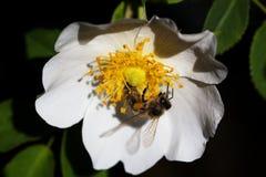Bi på en blomma Bi på en blomma av en whiteflower Royaltyfria Bilder