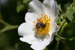 Bi på en blomma Bi på en blomma av en whiteflower Arkivfoto