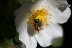 Bi på en blomma Bi på en blomma av en whiteflower Arkivfoton