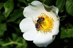 Bi på en blomma Bi på en blomma av en whiteflower Royaltyfri Fotografi