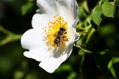 Bi på en blomma Bi på en blomma av en whiteflower Royaltyfria Foton