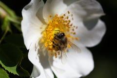 Bi på en blomma Bi på en blomma av en whiteflower Fotografering för Bildbyråer