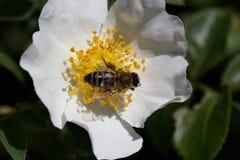Bi på en blomma Bi på en blomma av en whiteflower Arkivbild