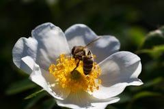 Bi på en blomma Bi på en blomma av en whiteflower Arkivbilder