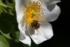 Bi på en blomma Bi på en blomma av en whiteflower Royaltyfri Foto