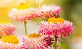 Bi på en blomma, bi på en rosa blomma Bi som sätta sig på en blomma Fotografering för Bildbyråer
