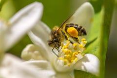 Bi på en blomma för orange träd Arkivfoton
