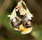 Bi på en blomma i natur Arkivfoto