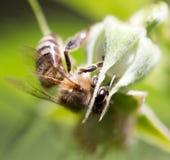 Bi på en blomma i natur Fotografering för Bildbyråer