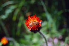 Bi på en blomma arkivbild