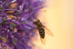 Bi på en blomma, nära foto royaltyfria bilder